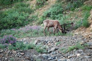 photo of a caribou taken by Debey Sklenar