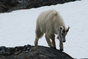 cutest mountain goat ever at the top of the Harding Ice Field hike, Kenai National Park