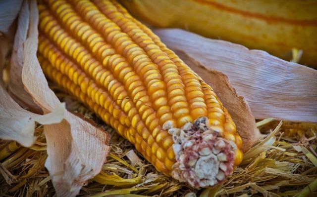 Sweet Corn on the Cob by KleineKiwi on https://pixabay.com/en/corn-corn-on-the-cob-yellow-food-3749752/